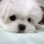"""Binkie"" - female Maltese"